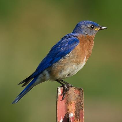 bluebird-570399_1280