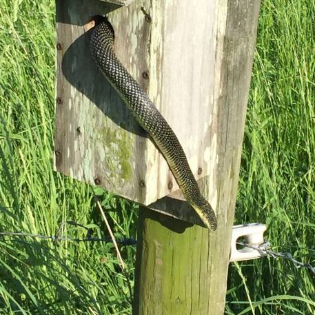 Snake in bluebird house