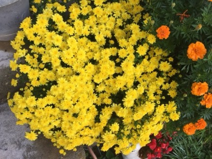 Mums in bloom for the fair